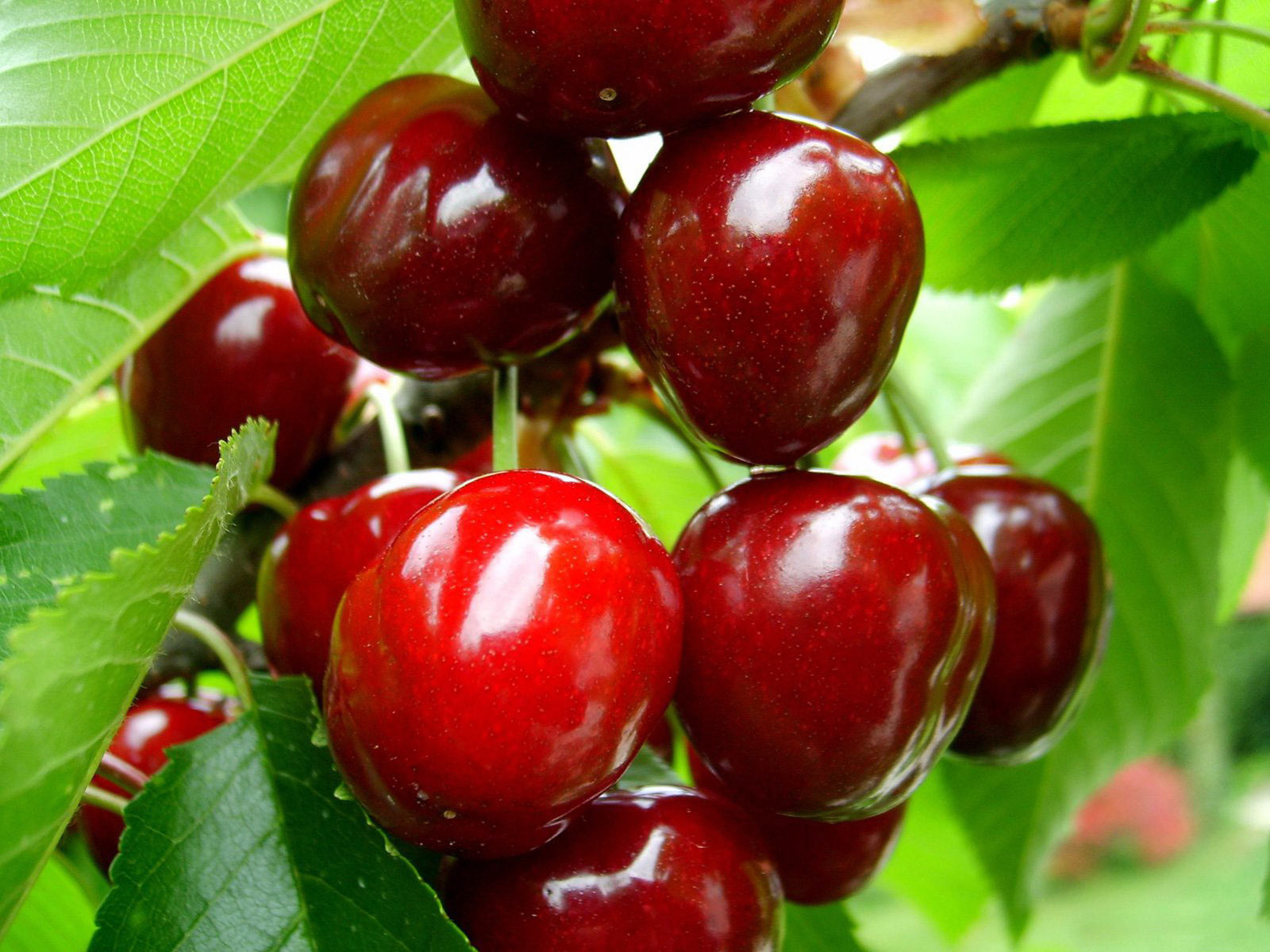 http://terapiados.net/sites/default/files/Cherry_fruit_0.jpg